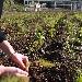 - Piantine di Finocchi - - - Fotografia inserita il giorno 26-02-2020 alle ore 20:44:50 da agritanticopozzoulivi