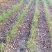 -Piantine di Finocchi dopo il Primo mese - - - Fotografia inserita il giorno 26-02-2020 alle ore 20:46:31 da agritanticopozzoulivi