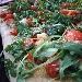 -Pizza in teglia mix 3 farine sarde, farcita con dolcesardo, pomodorini e rucola - - - Fotografia inserita il giorno 22-07-2019 alle ore 20:14:19 da pasqualefranzese
