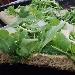 -Pizza integrale bianca con rucola e grana - - - Fotografia inserita il giorno 26-05-2019 alle ore 19:35:33 da pasqualefranzese