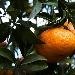 -mandarino dei Campi Flegrei - --mandarino dei Campi Flegrei - Fotografia inserita il giorno 08-12-2019 alle ore 23:14:24 da nicolarivieccio