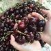 Chiaiano, la terra delle ciliegie