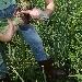 Cipolle, raccolta. - - - Fotografia inserita il giorno 26-02-2020 alle ore 21:07:36 da agritanticopozzoulivi