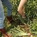Cipolle, raccolta. - - - Fotografia inserita il giorno 26-02-2020 alle ore 21:08:33 da agritanticopozzoulivi