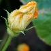 Fiore di zucca - - - Fotografia inserita il giorno 12-05-2021 alle ore 18:56:18 da luigi