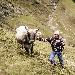 Mucche in alpeggio - Autore: Armin Huber - - - Fotografia inserita il giorno 13-04-2021 alle ore 12:31:26 da luigi