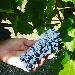 un grappolo di Centesimino - - - Fotografia inserita il giorno 23-02-2021 alle ore 18:51:25 da luigi