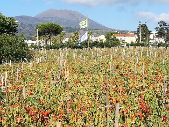 Pomodorini del Piennolo in pianta