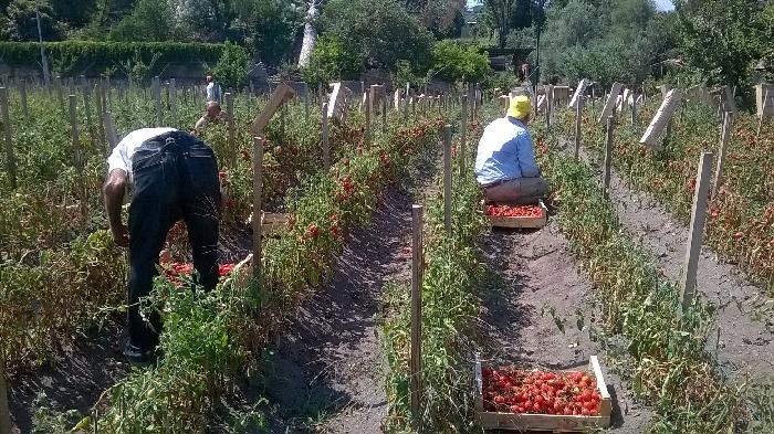 Raccolta del Pomodorini del Piennolo