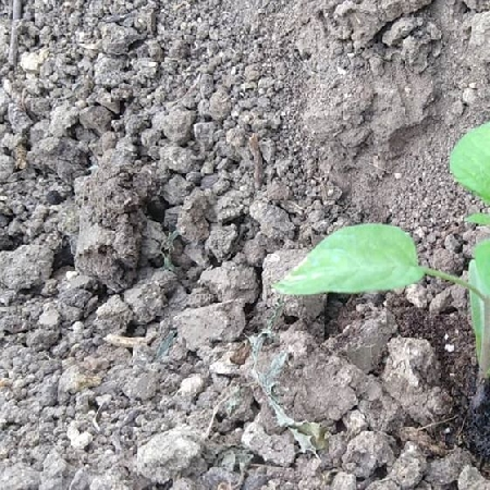 -Pomodoro giallo vesuviano da semenzaio proprio