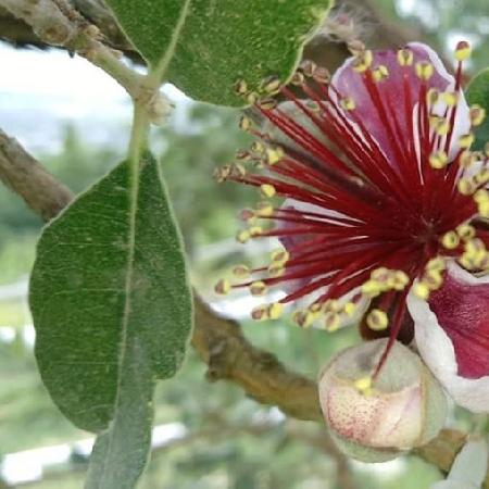-Primo Fiore di Feijoa, 19 Maggio 20