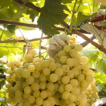 Raccolta uva bianca
