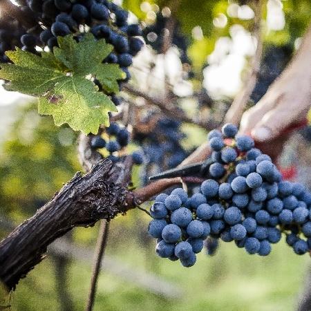 Vini Alto Adige DOC - Autore: IDM Südtirol/Frieder Blickle
