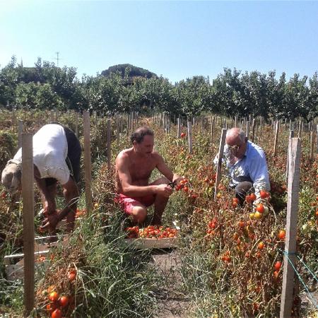 raccolta domenicale di Pomodorini del piennolo